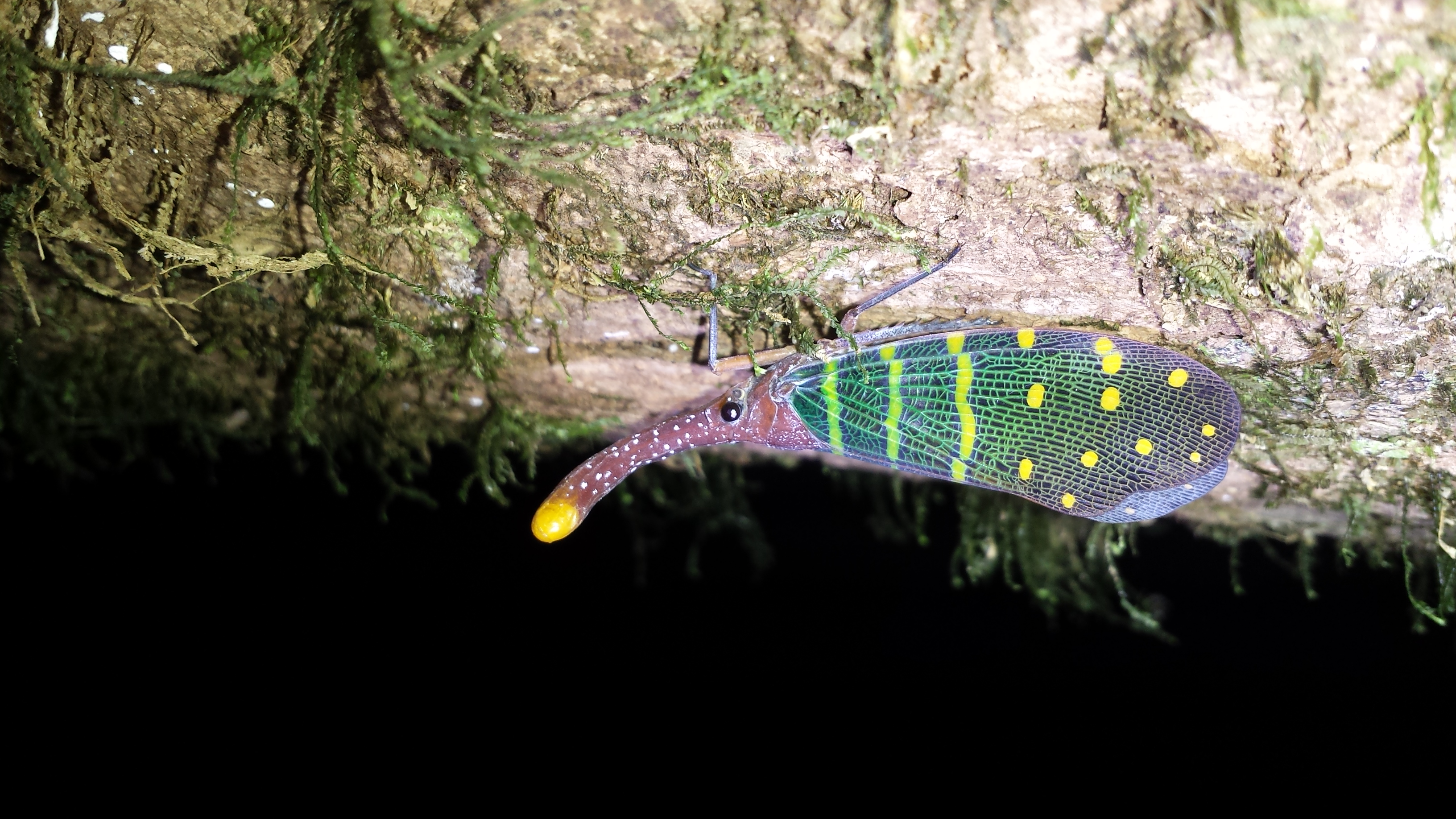a very colorful latern bug.
