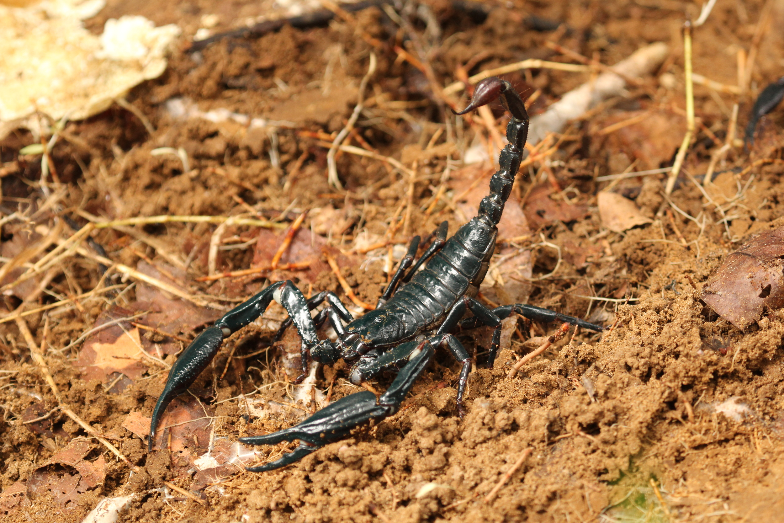 an iridescent scorpion found under a log. photo credit: Jackie Childers