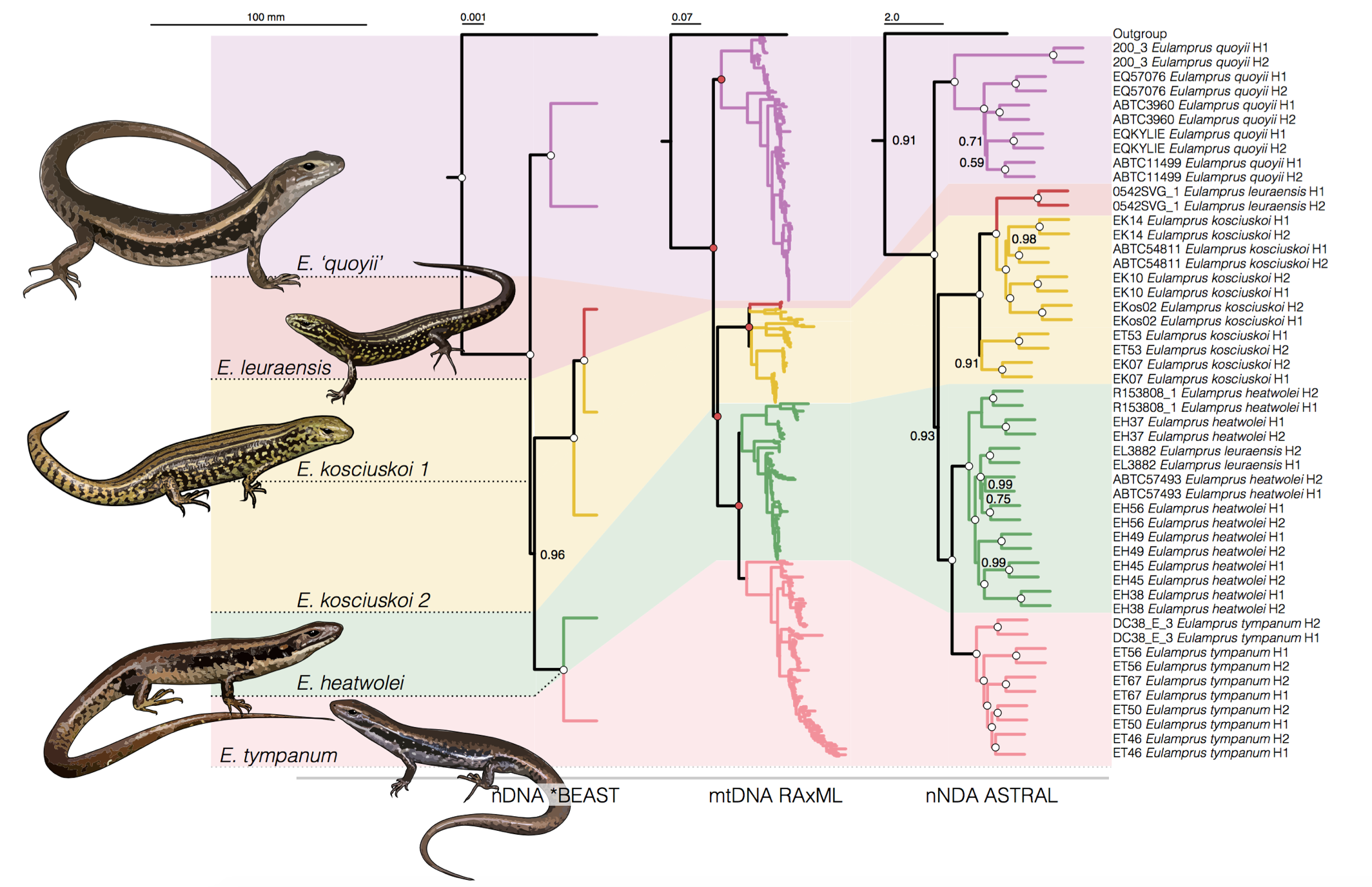 Phylogenetics of Water Skinks - (2018). Pepper, M., Sumner, J., Brennan, I.G., Hodges, K., Lemmon, A.R., Lemmon, A.M.,Peterson, G., Rabosky, D.L., Schwarzkopf, L., Scott, I.A.W., Shea, G., Keogh, J.S.Speciation in the mountains and dispersal by rivers: Molecular phylogeny of theAustralian Eulamprus water skinks and the biogeography of Eastern Australia.Journal of Biogeography 2018;45:2040-2052. Link or Download.