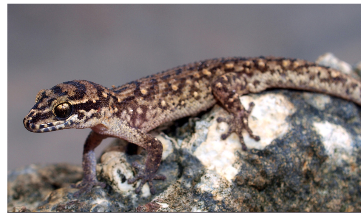 A New Island Microendemic - 2015. Botov, A., Trung, P.M., Truong, Q.N., Brennan, I.G., Bauer, A.M., Ziegler, T.A new species of Dixonius (Squamata: Gekkonidae) from Phu Quy Island, Vietnam.Zootaxa 4040 (1):048-058. Link or Download.Covered in popular media at: Monga Bay.