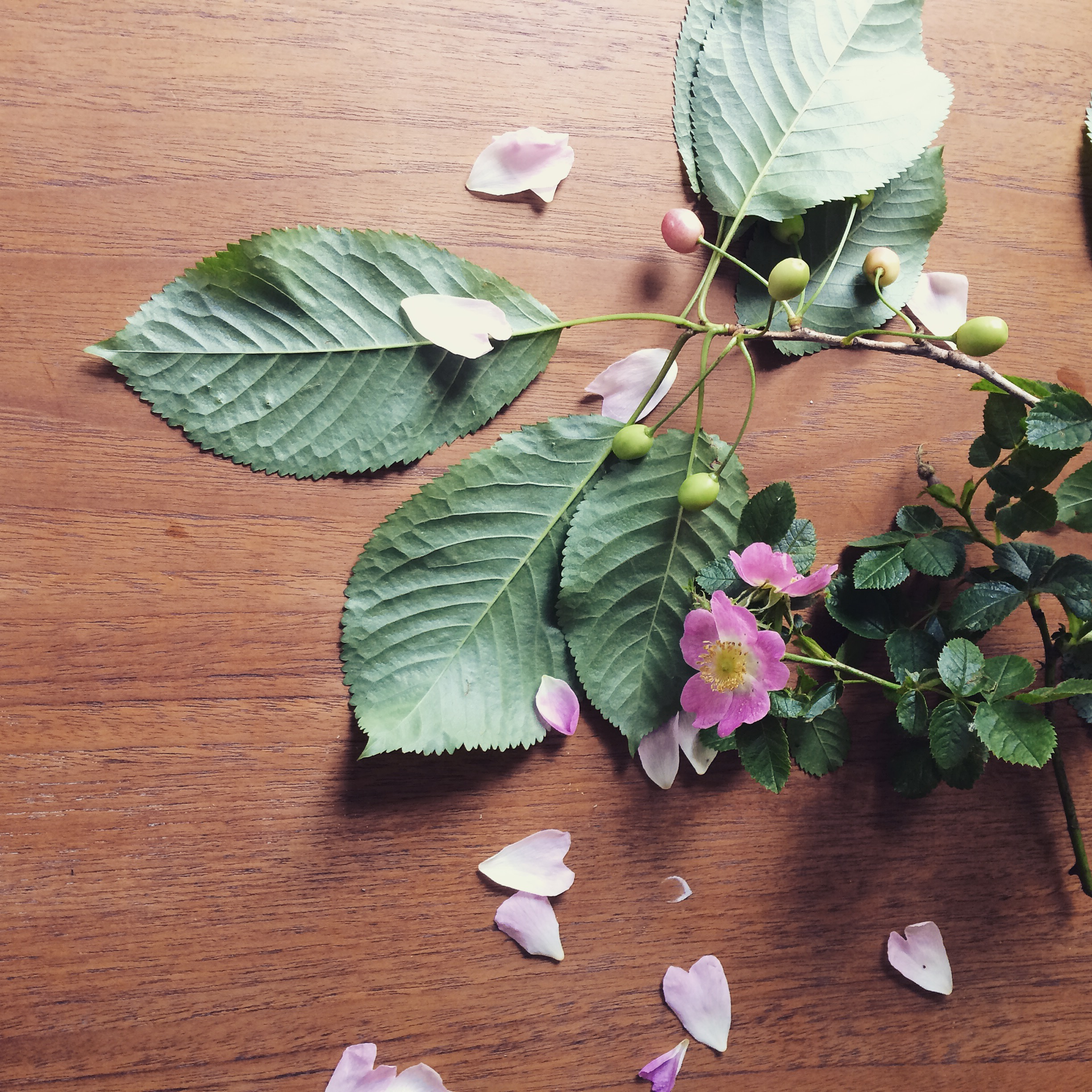 Joys of June: Wild roses and ripening cherries! I'm taking inspiration form those delicate pale pink petals and gorgeous foliage