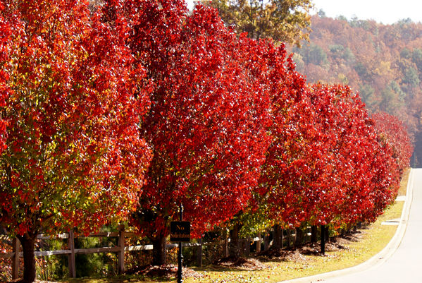 normal_red trees 2.JPG