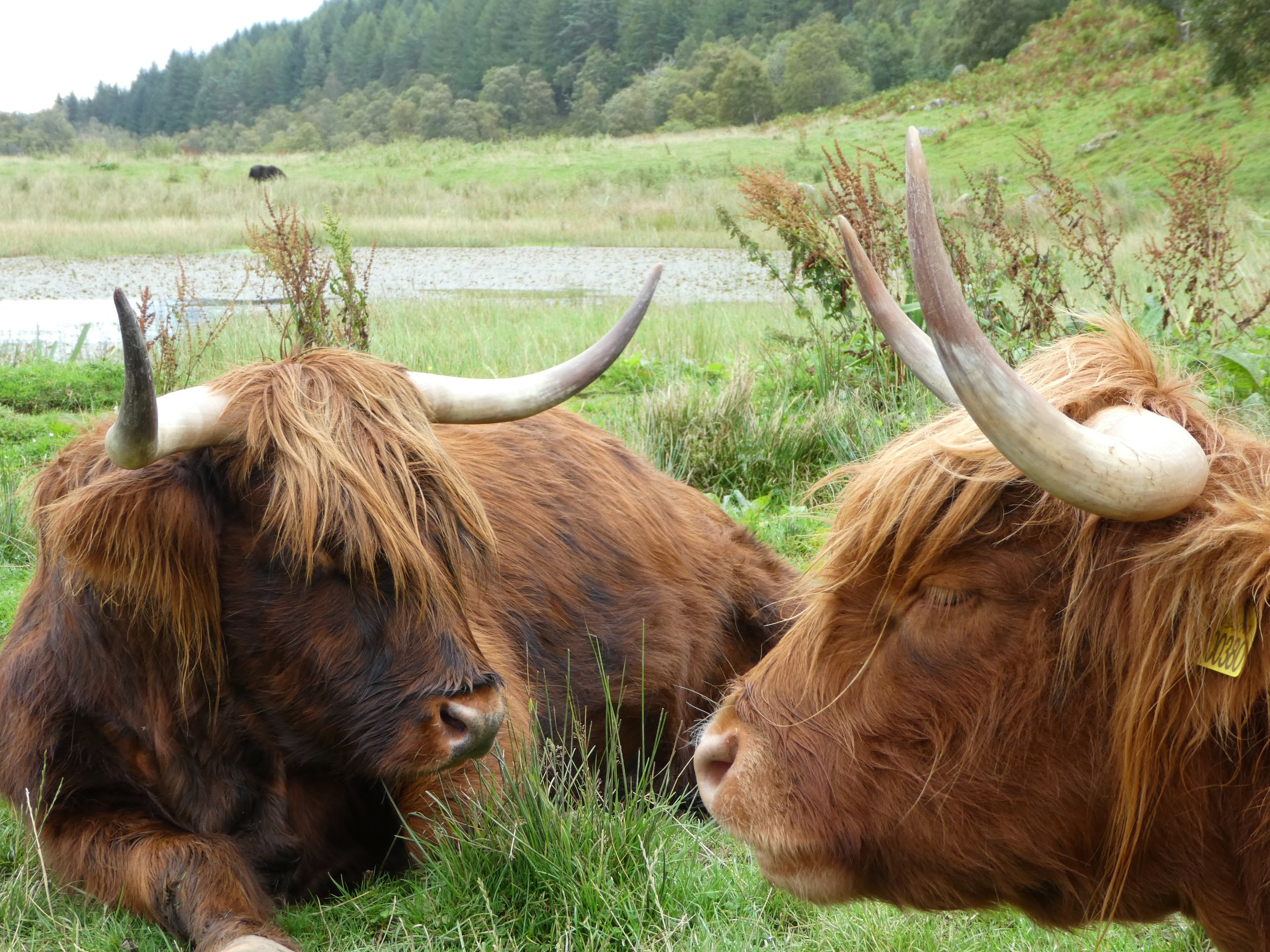 Napping Highland Cows