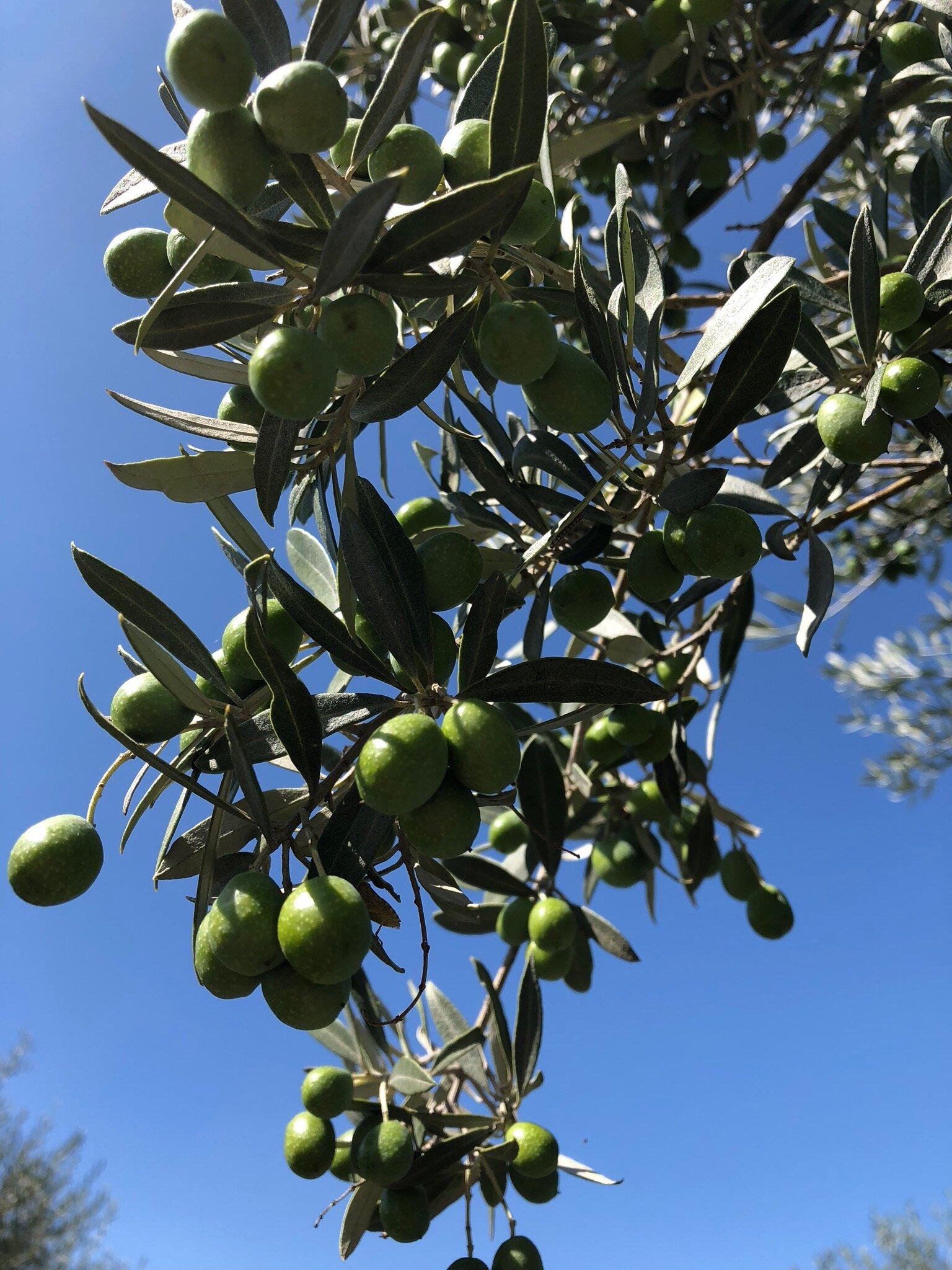 olive-tree.jpeg