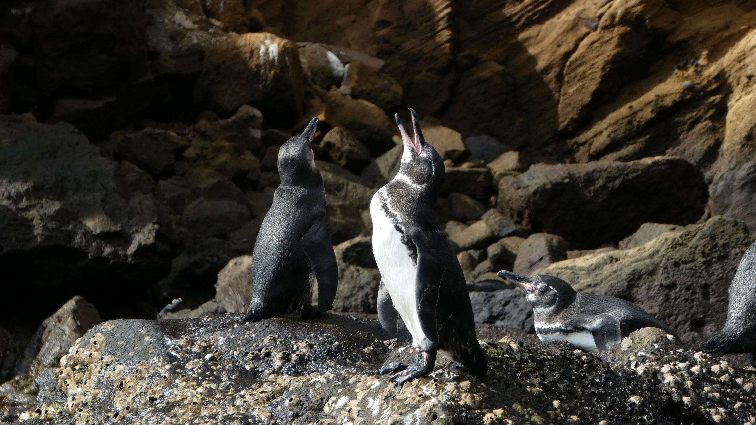 galapagos-penguins.jpg