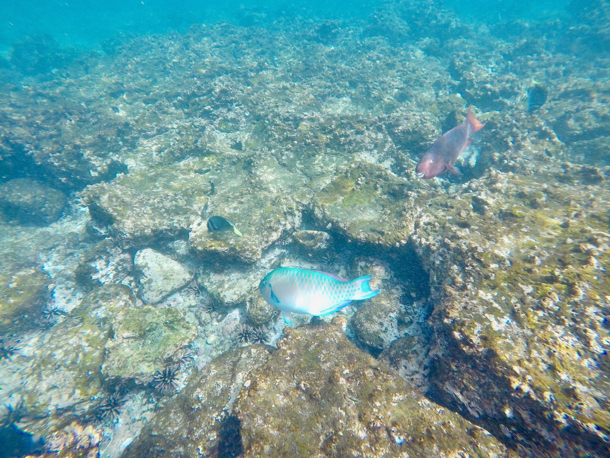 snorkeling-parrotfish-galapagos.jpeg
