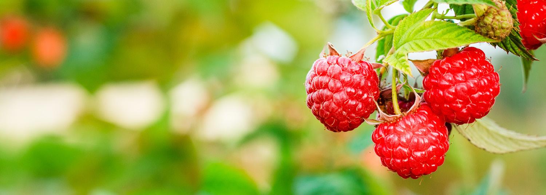 Raspberry Ketone Natural