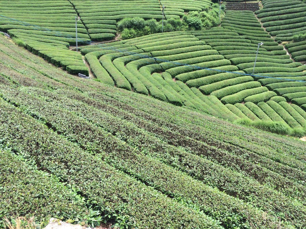 Tea fields as far as the eye can see