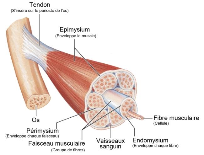 Les fascias (aussi appelé tissus conjonctifs) représentent  l'ensemble des tissus qui enveloppent la majorité des structures du corps.