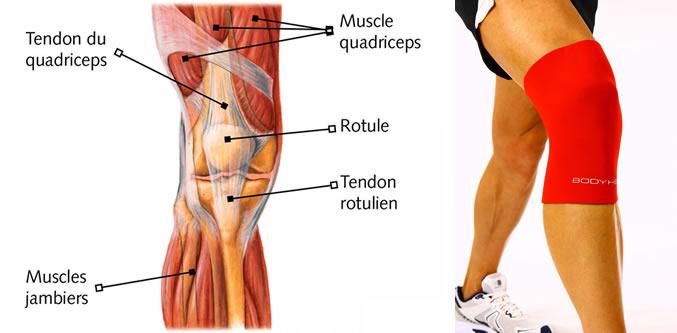 muscles genou.jpg