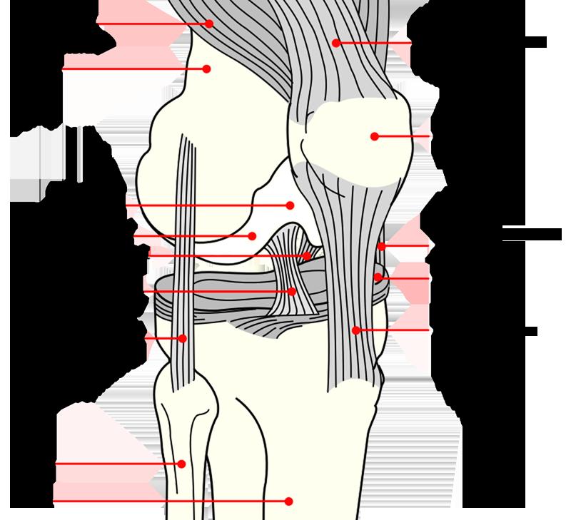 Le genou est une articulation qui fonctionne comme une charnière. -