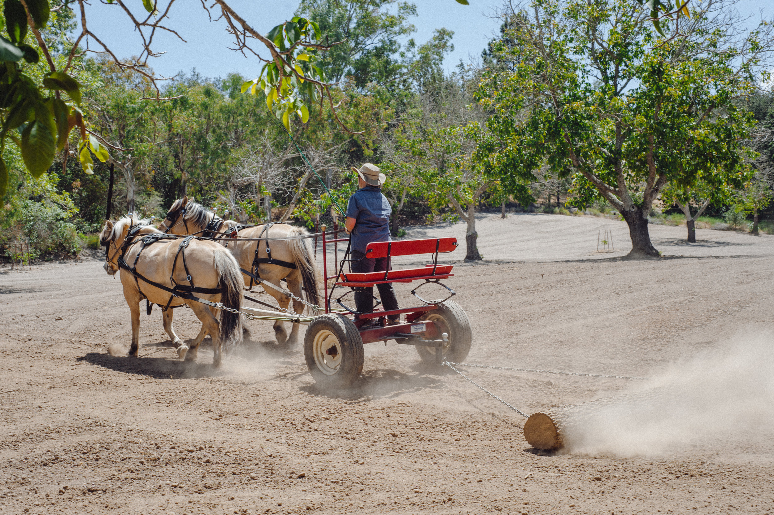 Lily and Sunny working the orchard ground. Smoothing out dirt clods will help during harvest when the walnuts fall. Photo courtesy of Manzanita Manor.