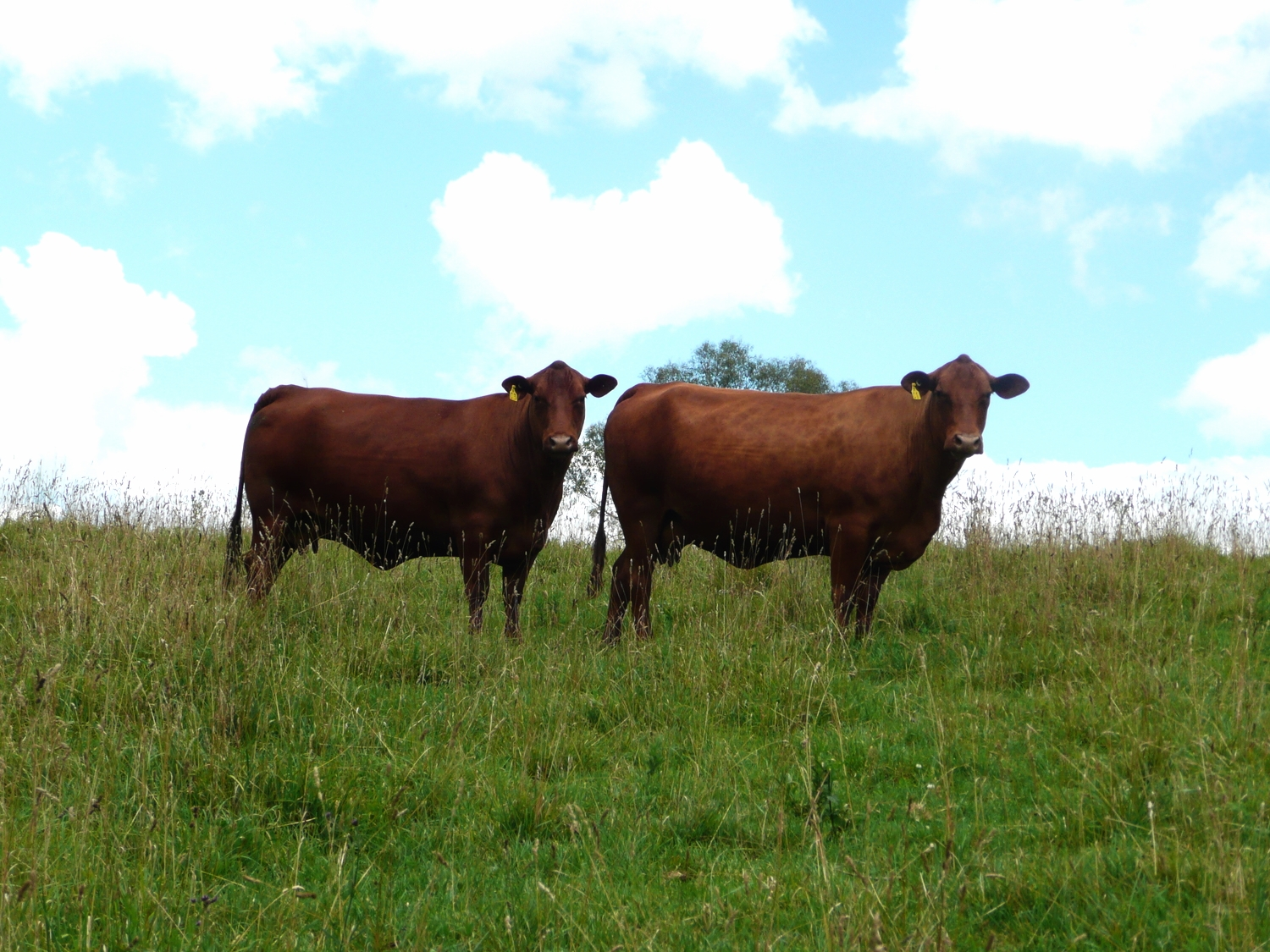 Foundation Stud Senepol Cows For The Polling Herd