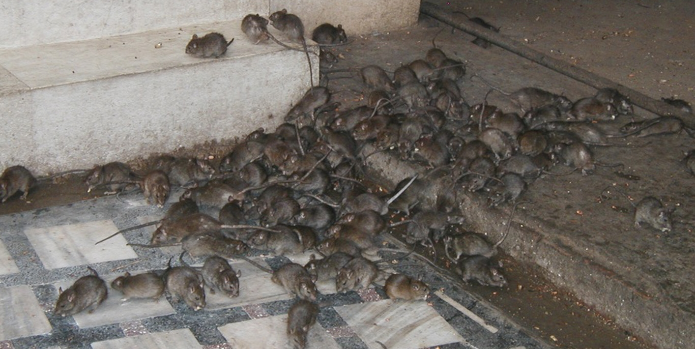 Rodent infestation.
