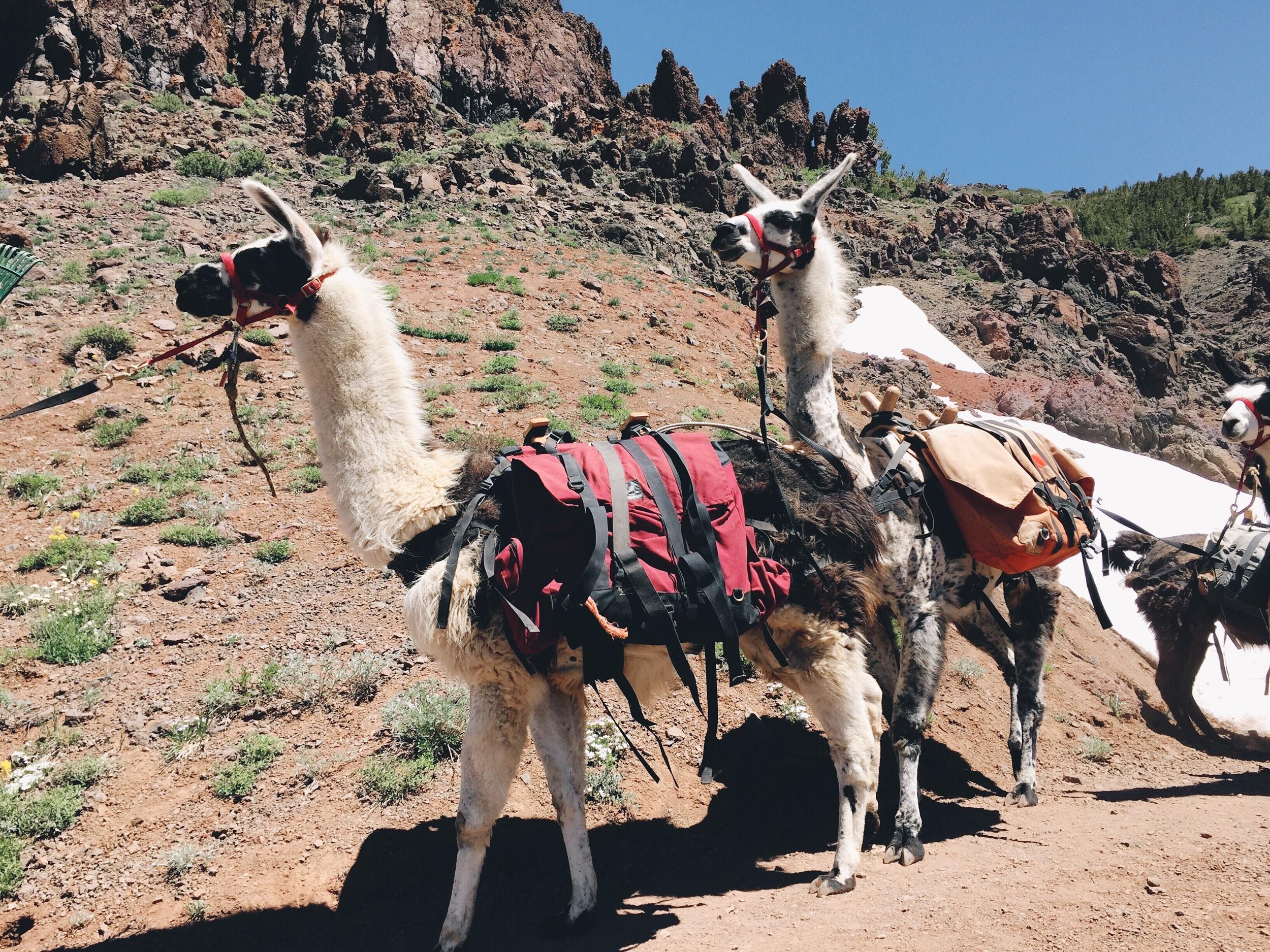 These llamas!