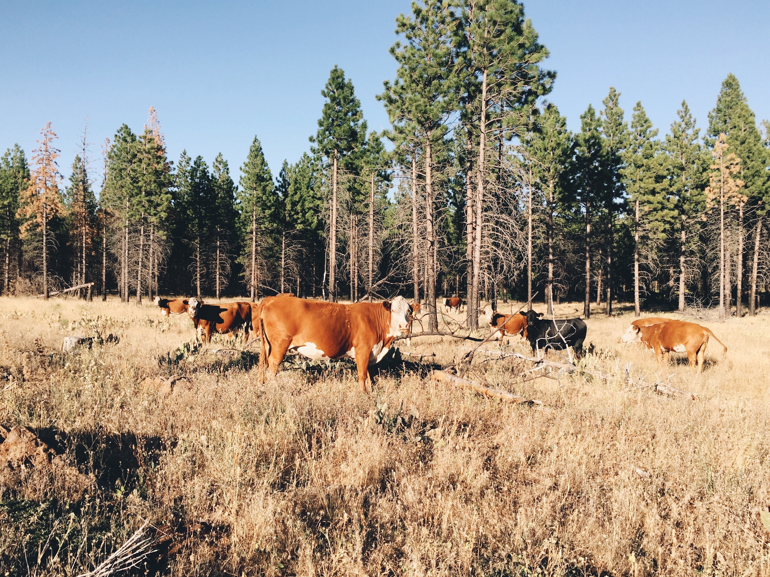 Free ranging cattle.