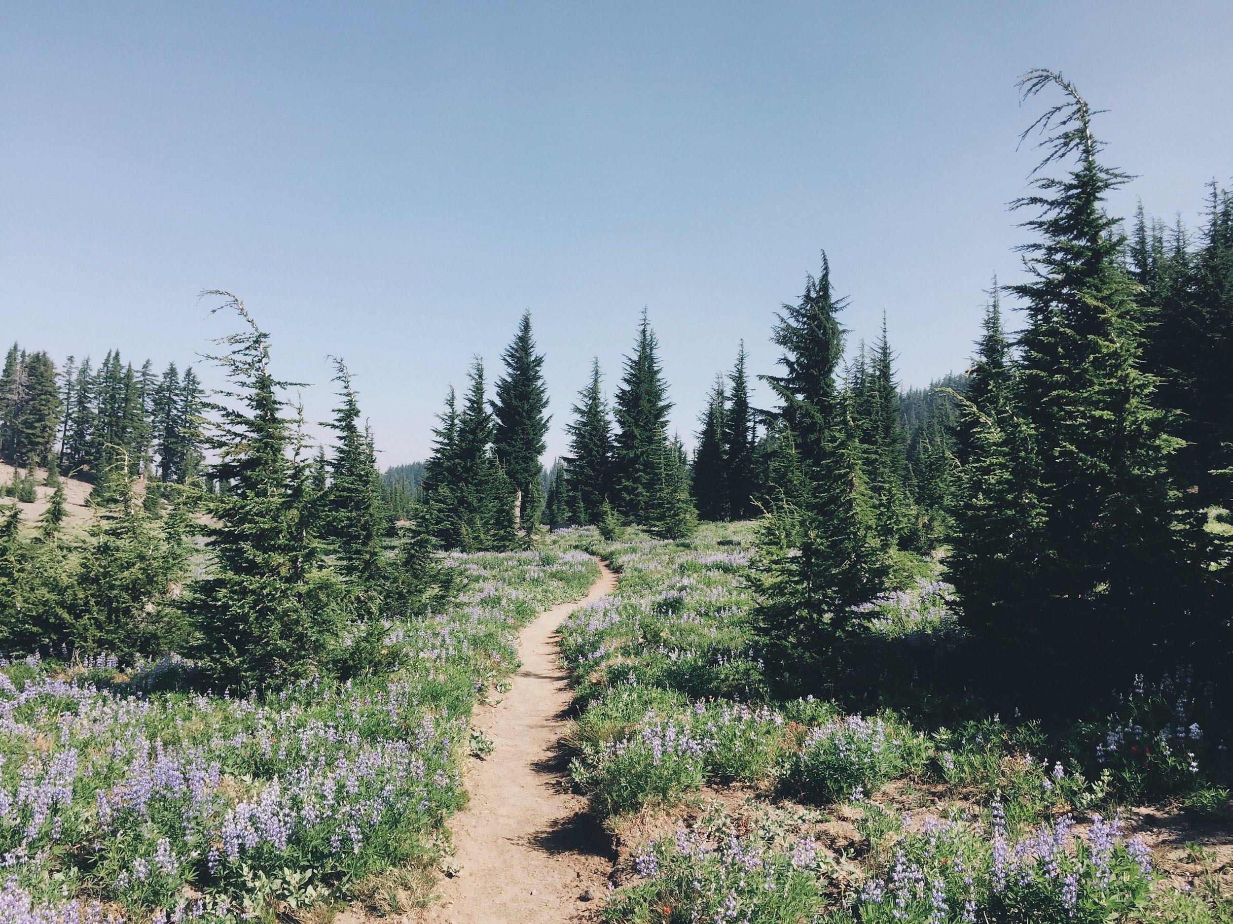 Lush lupine fields