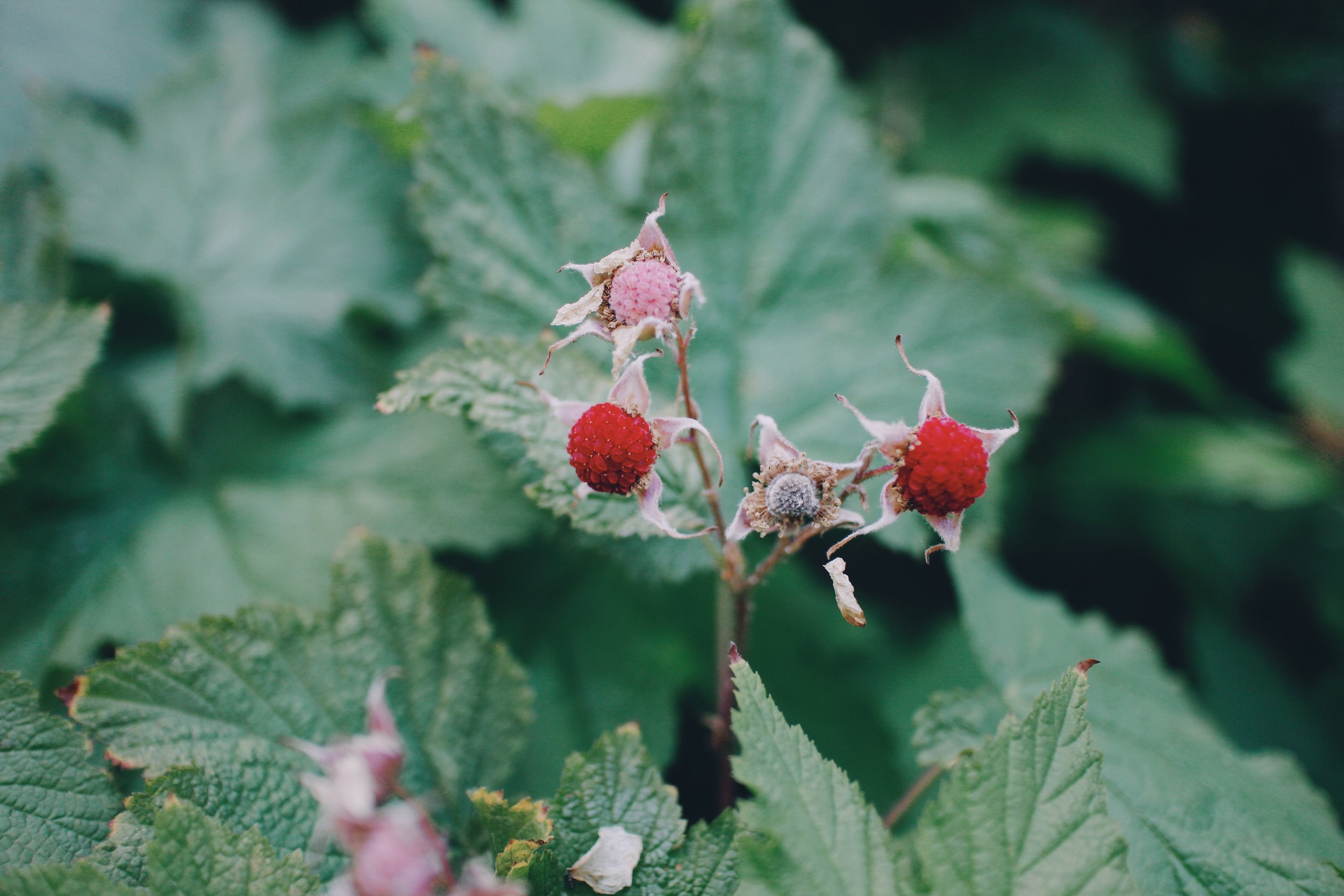 thimble berry. The best!