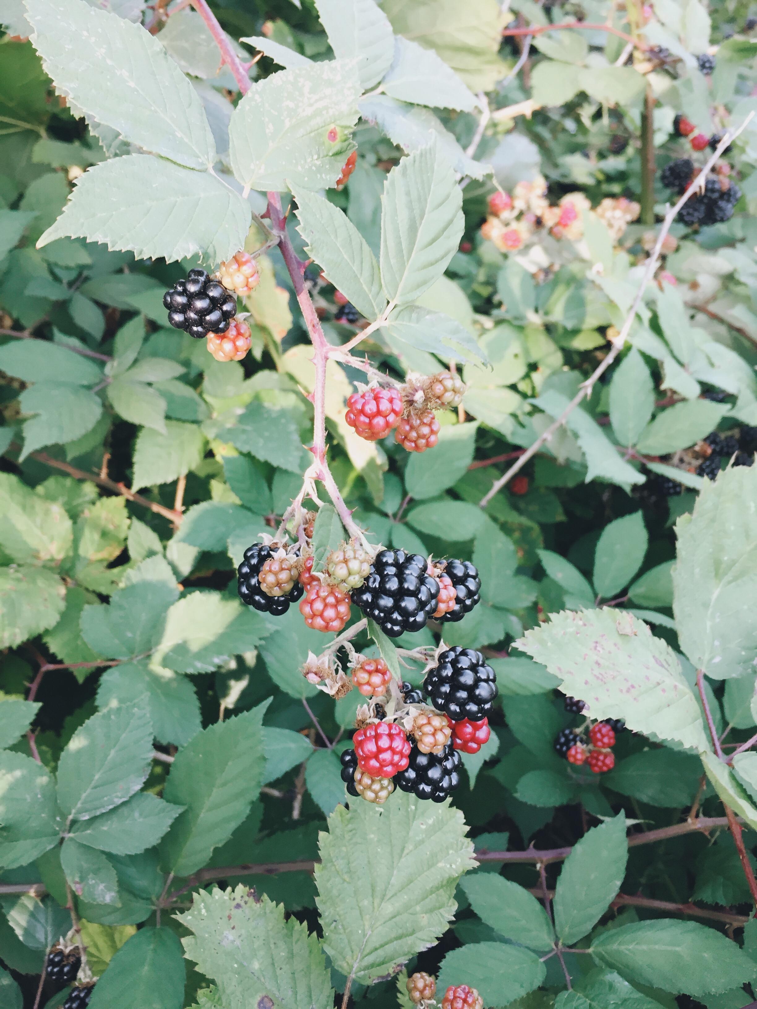 blackberries. My fav!!