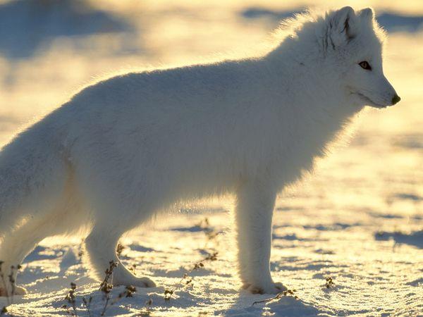 arctic-fox_217_600x450.jpg