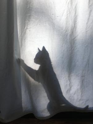 shadow kitten