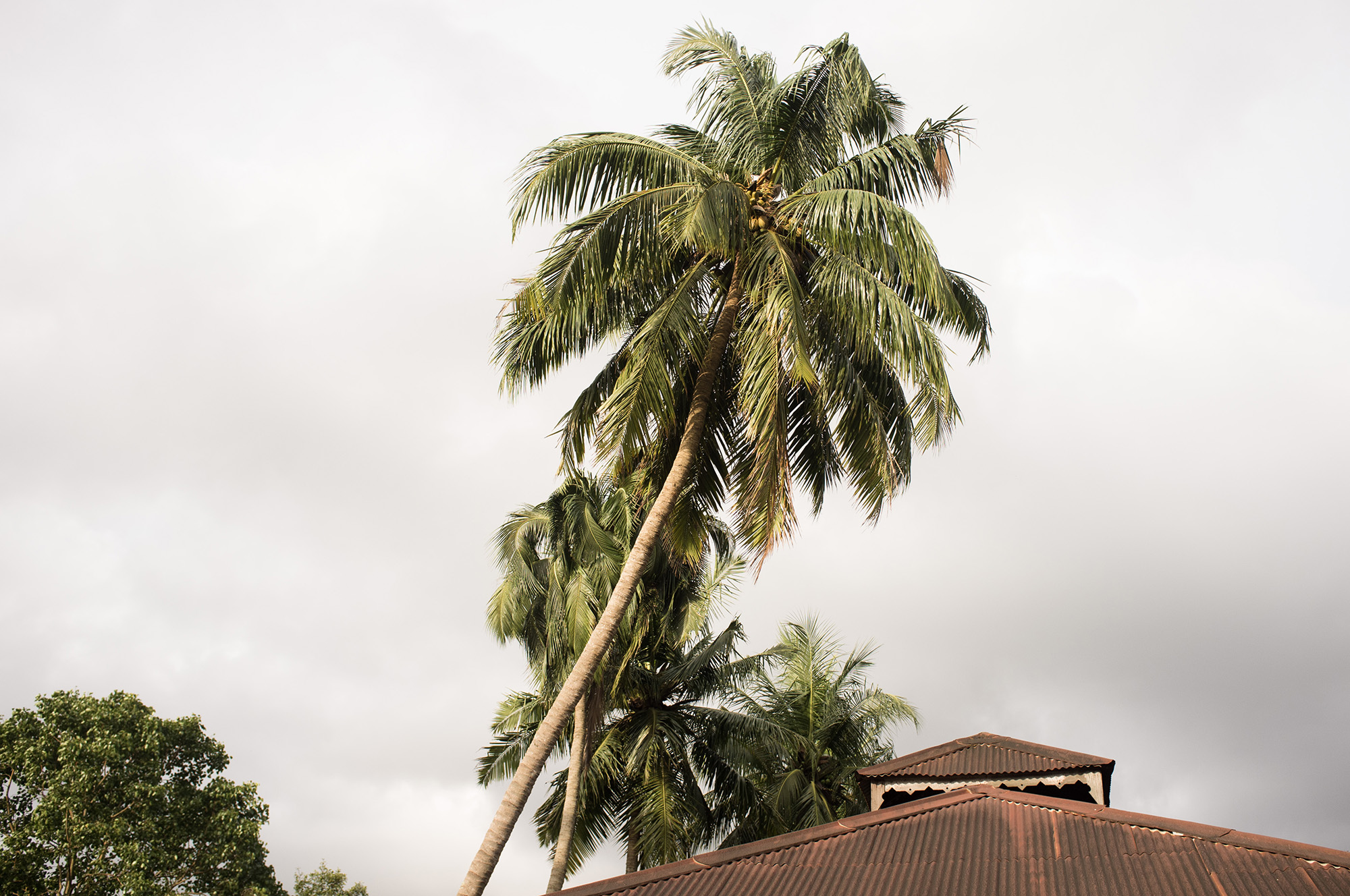 Leaning coconut palms.