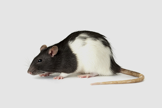 rats-deratisation-entreprises-alpes-maritimes