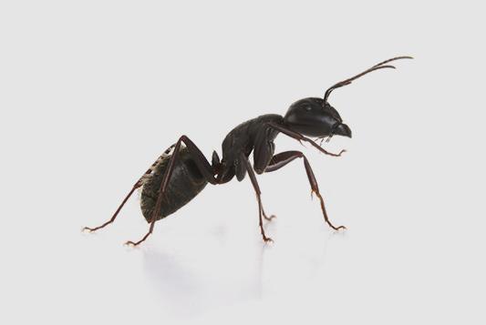 traitement-et-solution-anti-fourmis