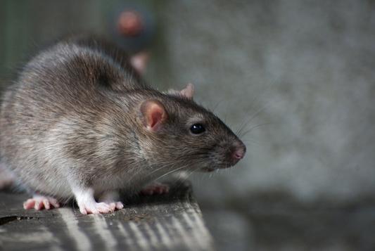 lutte rats, dératisation