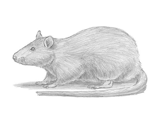 draw-rat.jpg