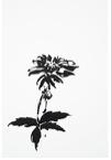 Botanical Study - Dahlia #1, 2018
