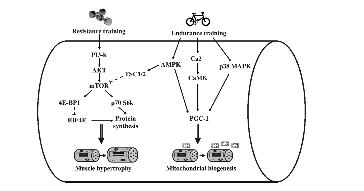 """Taken from  """"Molecular Responses To Strength & Endurance Training - Are They Incompatible?"""""""