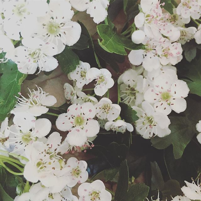 The beauty of Hawthorn, just look at those pretty pink stamen 😍