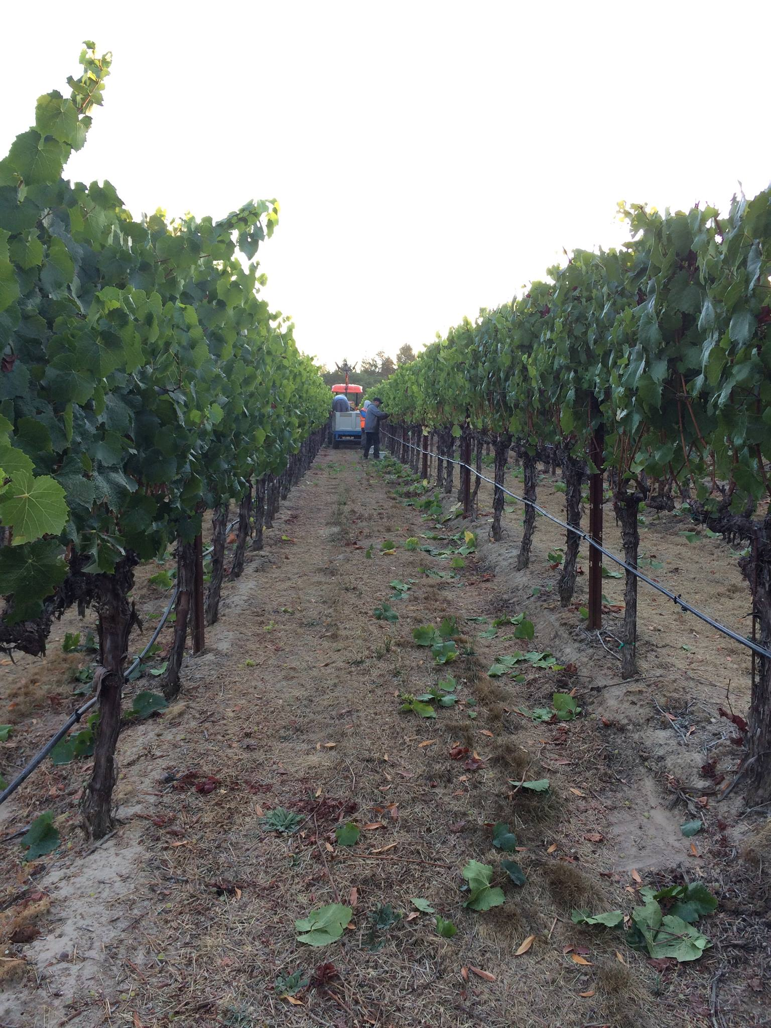thompson31fifty-vineyard2.JPG
