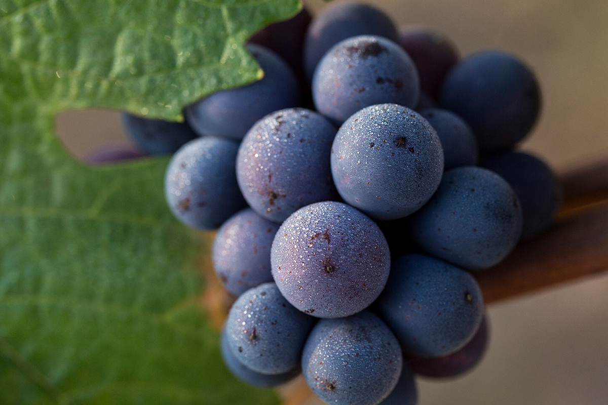 These are our beautiful Pinot Noir and Chardonnay grapes,which we planted on our estate vineyard!  We will harvest them next year in 2017 and will bottle this wine in 2019.