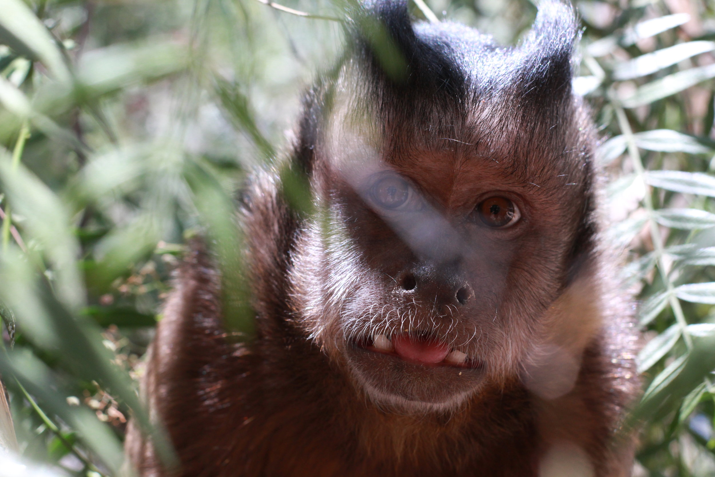 Marley is one of our resident Capuchin Monkeys