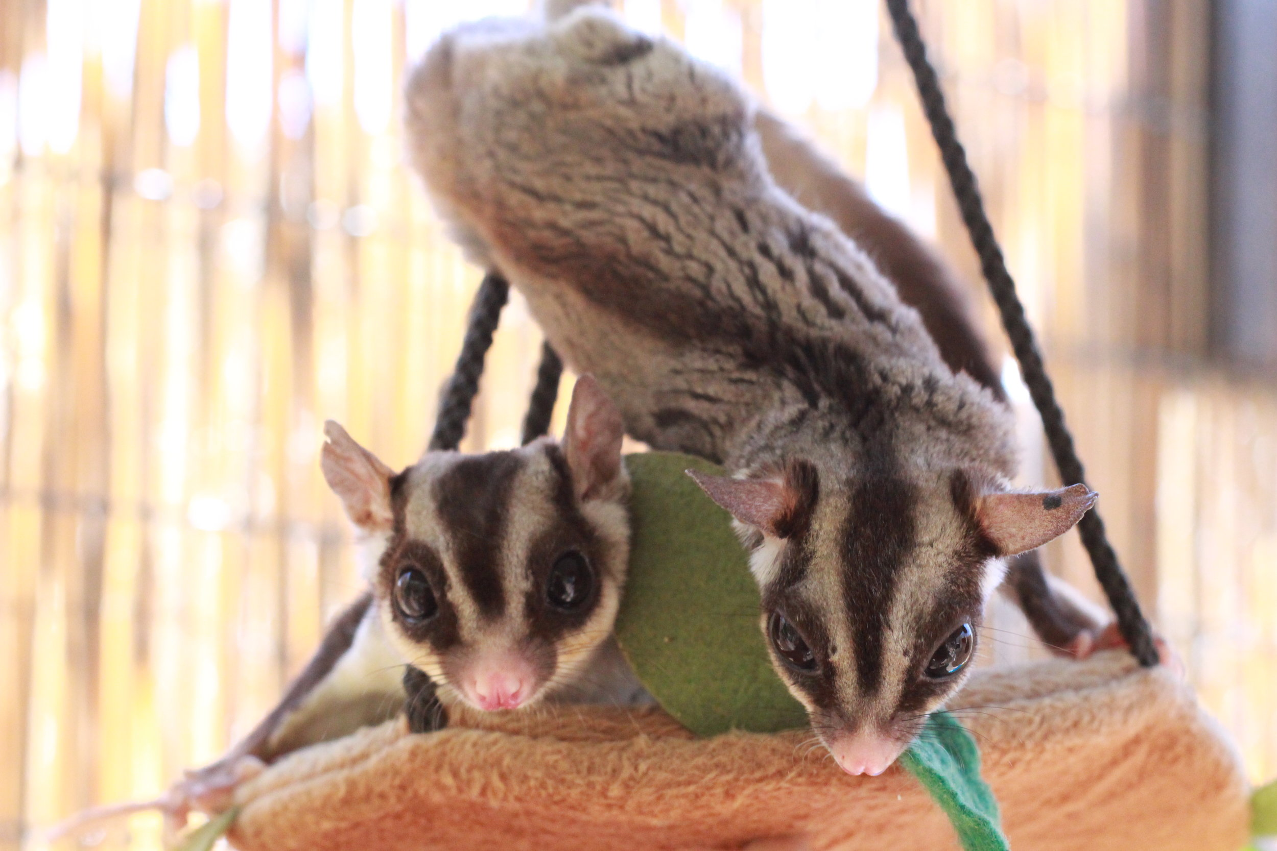 Cappuccino and Latte are two of our sugar gliders