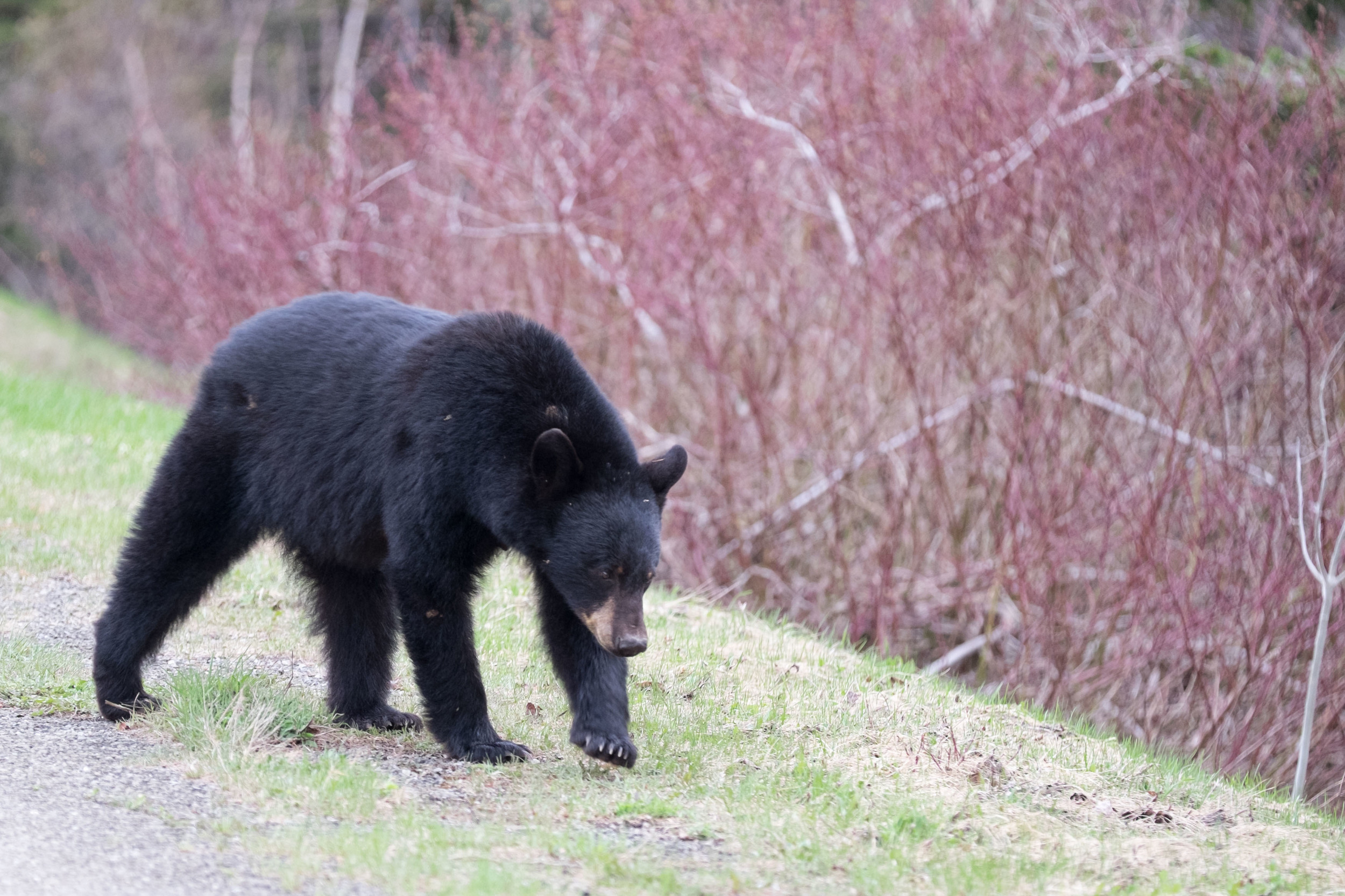 Mother Black Bear after a long winter, Forillon National Park