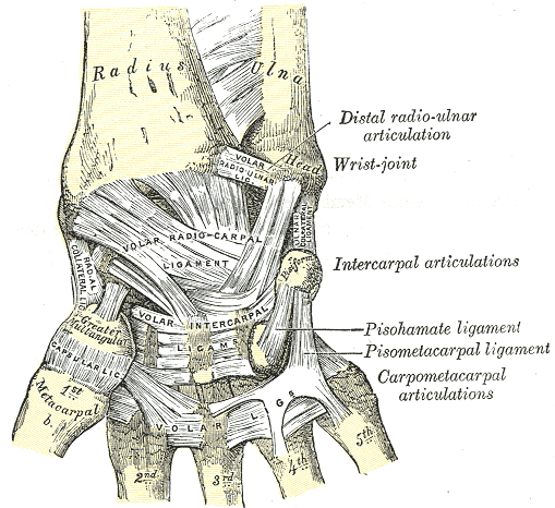 Source: Gray's Anatomy via WikiPedia (Public Domain)