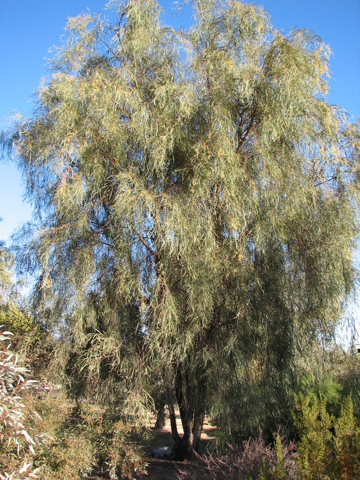 11 Acacia stenophylla SHOESTRING ACACIA.jpg