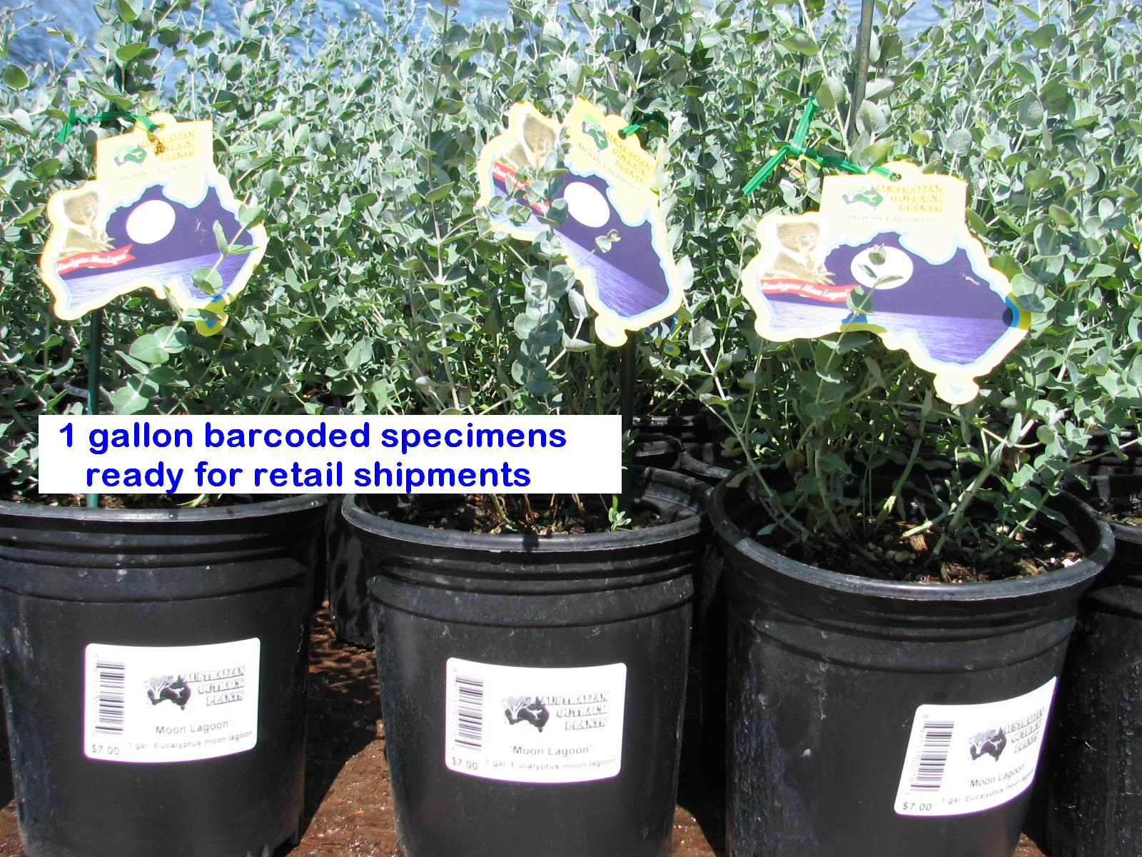 oe 1 gal MOON LAGOONS barcoded labelled ready for sale.jpg