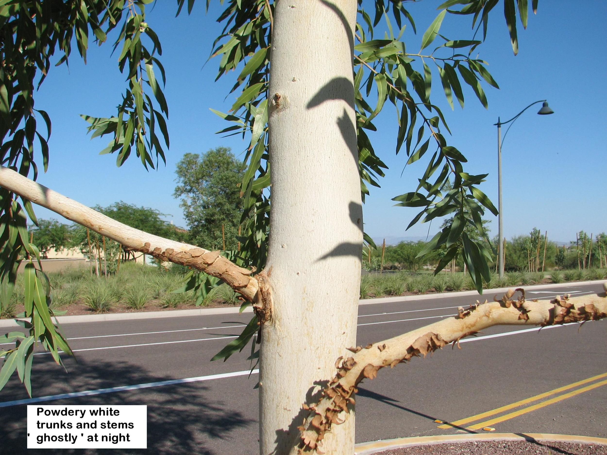 p E.papuana 5 year growth white powder appearing on trunk.jpg