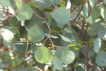 q E.polyanthemos  circular foliage.jpg