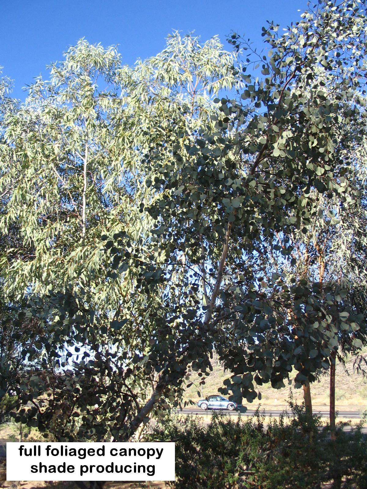 q E.polyanthemos  shade producing.JPG