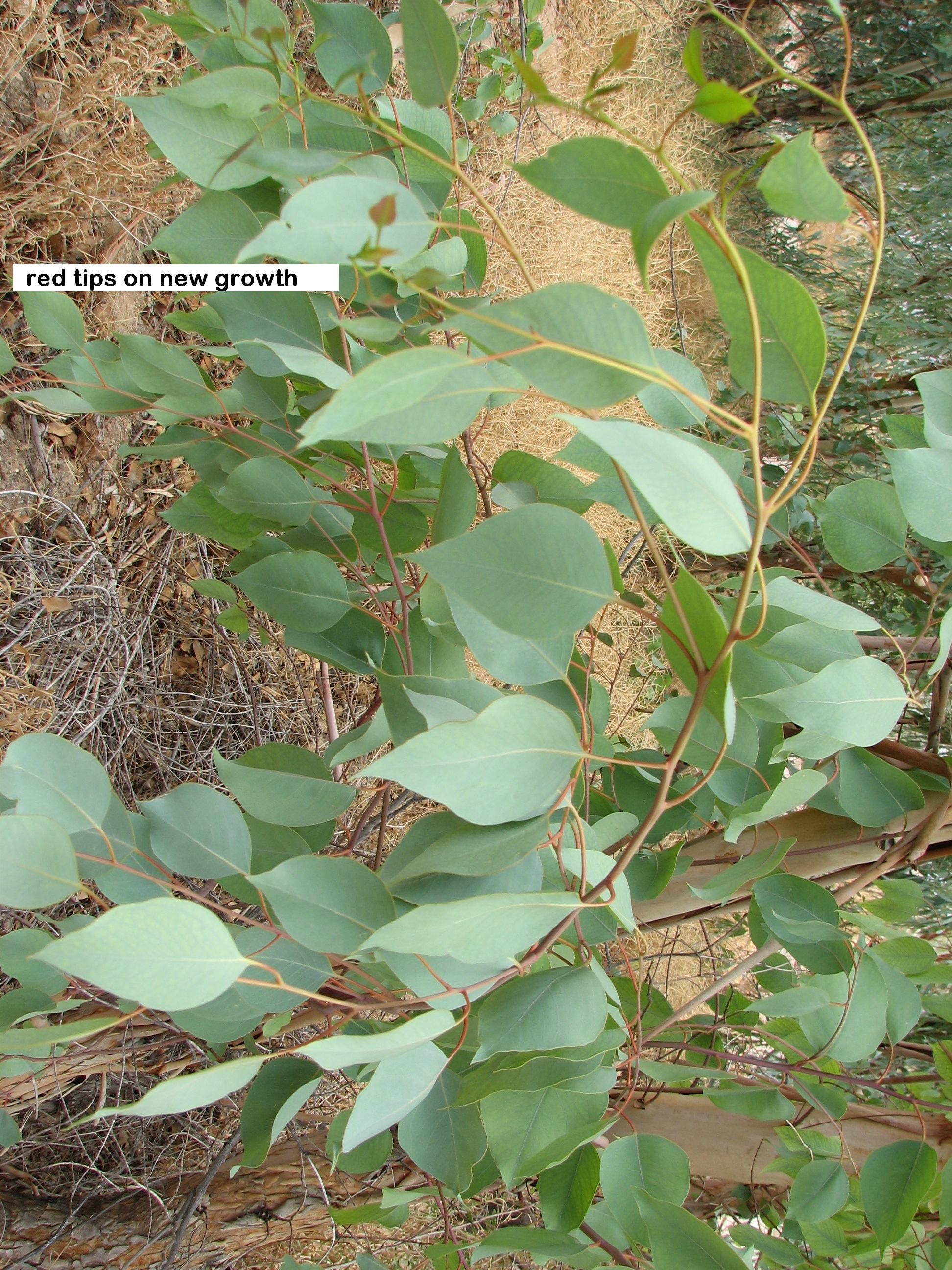 r Euc.rudis foliage.jpg