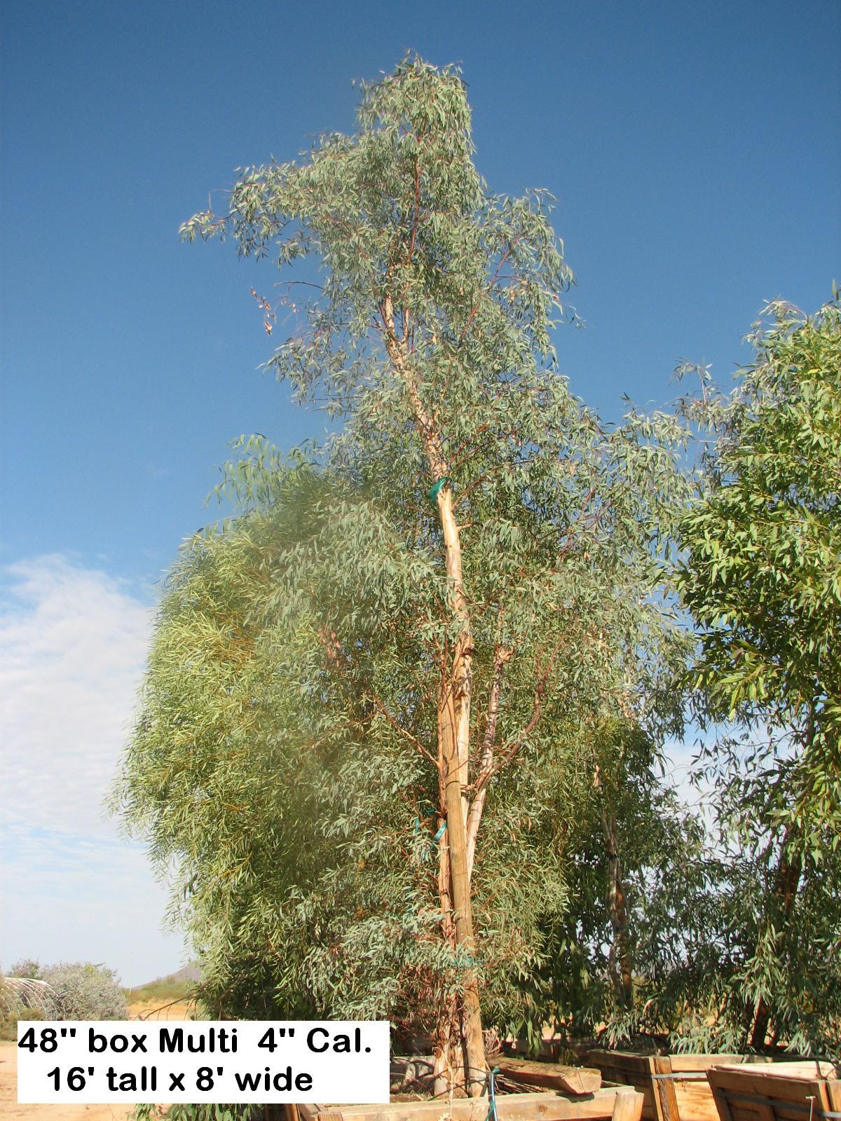 t E.sideroxylon rosea 48''' box 18' tall+.jpg