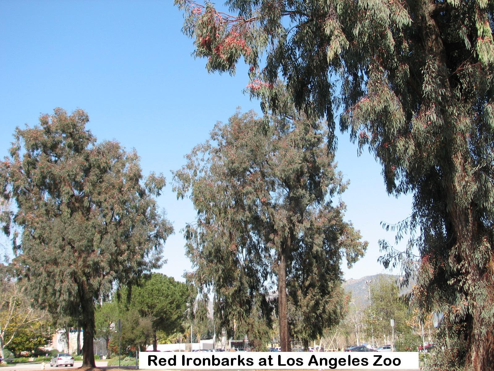 t3 Los Angeles Zoo IRONBARKS.jpg