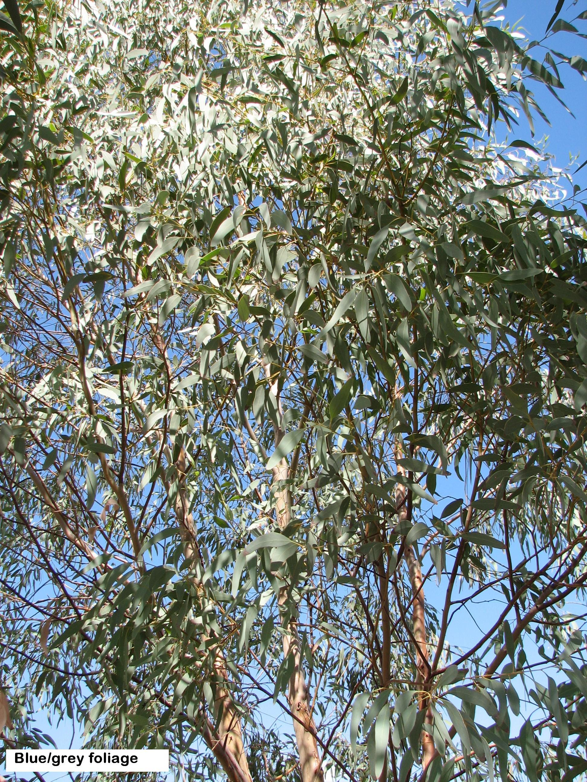 t5 E. sideroxylon rosea blue grey foliage strong eucalyptus .jpg