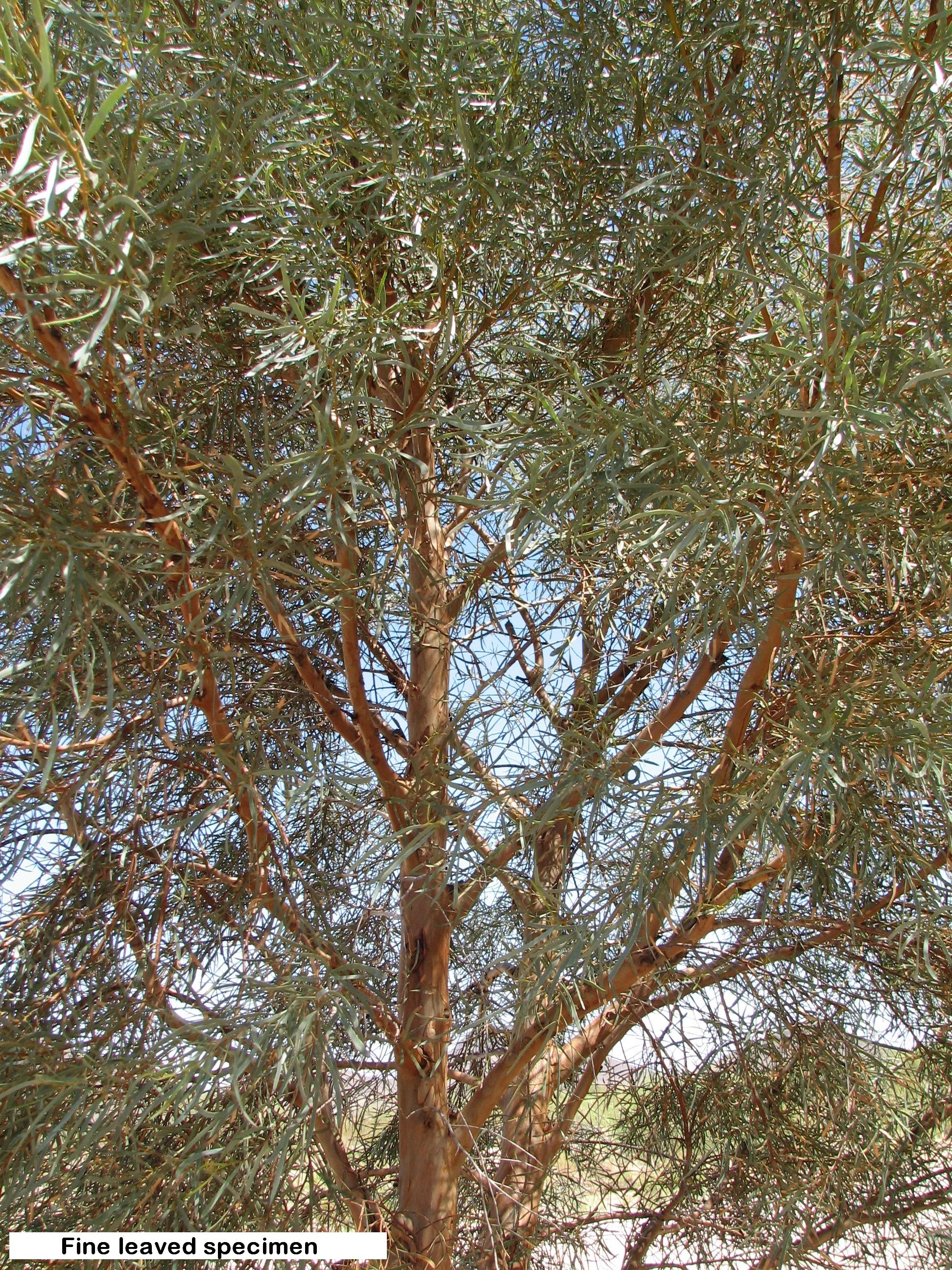 v se thru canopy,  skin like trunk.jpg