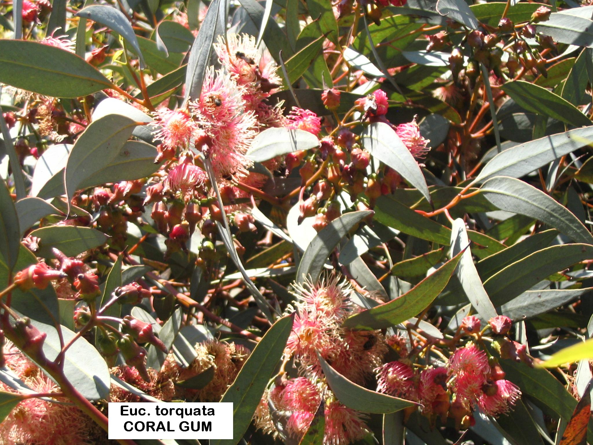 y1 E. torquata CORAL COLOURED FLOWERS.JPG